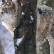 Queue de loup : deux mois de prison avec sursis requis contre le président des Hautes-Alpes