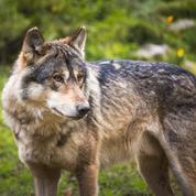 Découverte en France d'un loup d'une lignée d'Europe centrale