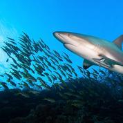 Nouvelle-Calédonie: un pêcheur mordu par un requin deux jours après une attaque mortelle