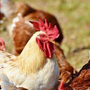 Nord: la préfecture autorise un élevage intensif de 117.600 poulets, contesté localement