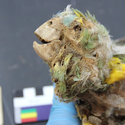 Des perroquets momifiés, témoins du commerce qui traversait les Andes et l'Amazonie il y a 600 ans