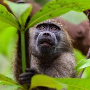 Afrique du Sud : fin de cavale pour un babouin sans foi ni loi