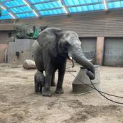 Le sort d'un éléphanteau mort dans un zoo après avoir été rejeté par son troupeau émeut la Suède