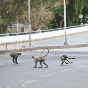 Inde : deux hommes arrêtés pour avoir volé de l'argent à l'aide de singes