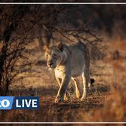 L'Afrique du Sud veut interdire l'élevage de lions pour la chasse