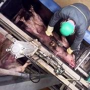Maltraitance animale: L214 diffuse des images choc d'un abattoir du Finistère