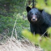 Le «roi» des ours roumains abattu par un prince du Liechtenstein, selon deux ONG