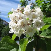 Catalpa commun, l'arbre aux haricots