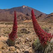 Vipérine de Ténérife : une floraison spectaculaire