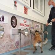 Le dépistage du coronavirus par des chiens scientifiquement prometteur