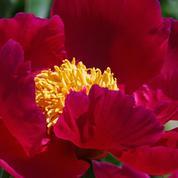 Flambée du prix de la pivoine, fleur star de la saison