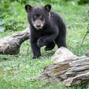 Les habitants d'un quartier de Montréal confinés chez eux à cause d'un ourson