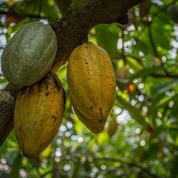 Cacao:la Côte d'Ivoire attribue 20% de ses exportations à ses négociants