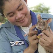 Au Cambodge, le rat détecteur de mines Magawa prend sa retraite