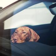 Vols de chiens : les voyous de plus en plus déterminés