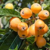 Néflier du Japon : l'arbre à « bibasses »