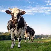 Pour lutter contre le réchauffement climatique, une entreprise veut faire porter un masque aux vaches