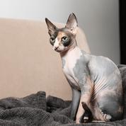 6 races de chats hypoallergéniques