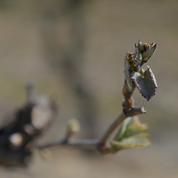 «On avait l'espoir qu'il y ait une repousse» : deux mois après le gel, vignerons et arboriculteurs font le bilan