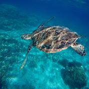 Corse : afflux exceptionnel de tortues marines, les sites de soin saturés