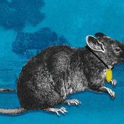 Magawa, le rat démineur du Cambodge