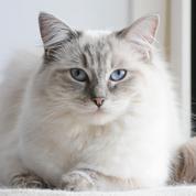 5 races de chats les plus affectueux