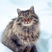 Découvrez 5 races de chats à poil long