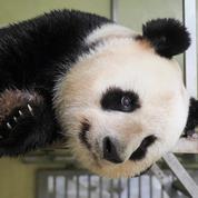 Au zoo de Beauval, Huan Huan attend bien un nouveau bébé panda