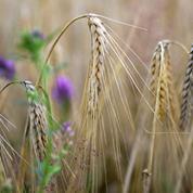 Le blé poursuit sa progression, aidé par la météo et le taux de change