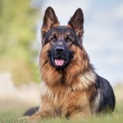 Découvrez 6 races de chiens de garde
