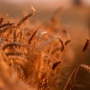 Le blé en petite hausse à l'approche d'un week-end potentiellement arrosé