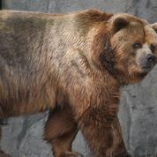 Alaska : attaqué et harcelé par un ours, un homme secouru par hélicoptère