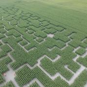 Pour se diversifier, des agriculteurs tracent des labyrinthes dans leur champ de maïs