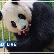 Zoo de Beauval : le panda Huan Huan donne naissance à des jumelles