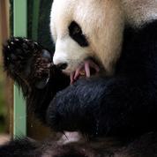 Pandas, félins... Les naissances font les bonnes affaires des zoos