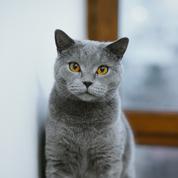 Chartreux : origine, taille et caractère