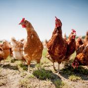 La France n'a officiellement plus de grippe aviaire