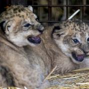 Deux lionceaux d'Afrique naissent de manière inattendue au zoo d'Amnéville