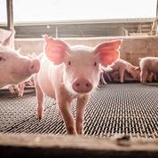 Bretagne: un cas de grippe influenza porcin détecté chez un homme