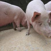 Des dizaines de milliers de porcs britanniques menacés à cause des pénuries de main-d'œuvre