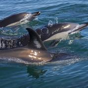 Aux îles Féroé, le massacre de 1400 dauphins suscite l'indignation