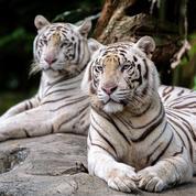 Covid-19 : six lions et trois tigres du zoo de Washington testés positifs