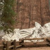 Les séquoias géants de Californie emballés dans de l'aluminium pour les sauver des flammes