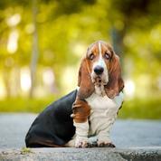 Basset hound : origine, taille et caractère