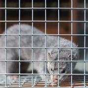 Covid-19 : le Danemark va prolonger l'interdiction de l'élevage des visons