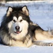Malamute de l'Alaska : origine, taille et caractère