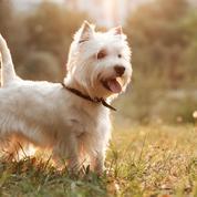 West Highland White Terrier : origine, taille et caractère