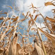 Le maïs rebondit, le blé au plus haut