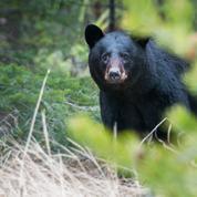 États-Unis : quatre jours de prison pour s'être approchée d'une ourse et de ses petits