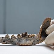 Amérique centrale : une mâchoire de chien, indice d'une présence humaine il y a 12.000 ans ?